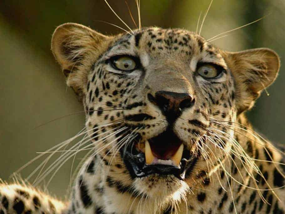 Saving the Arabian Leopard