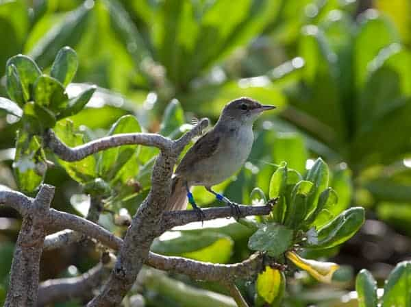 100 Years Later, Endangered Millerbirds Breed Once Again on Laysan Island