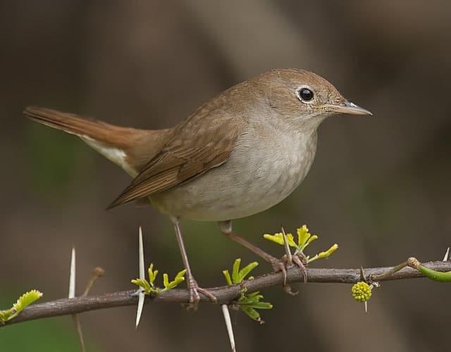 Nightingales quarrel at eye level