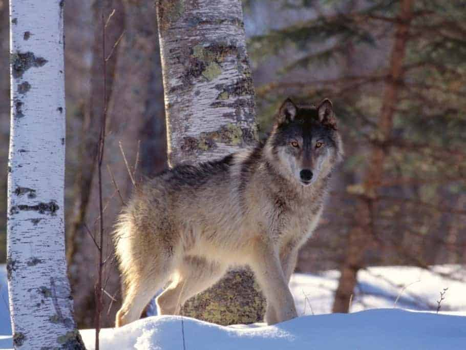 POLL: Should the wolf be delisted in more American states?