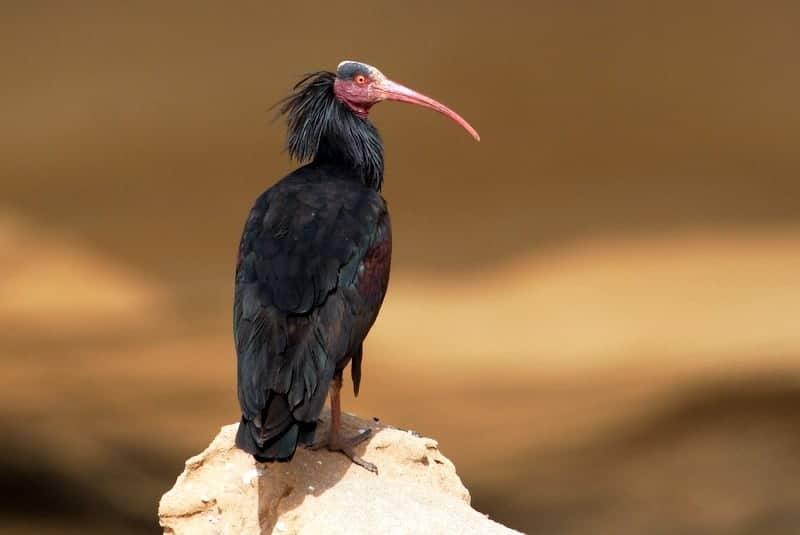 Bald Ibis by Adam Riley