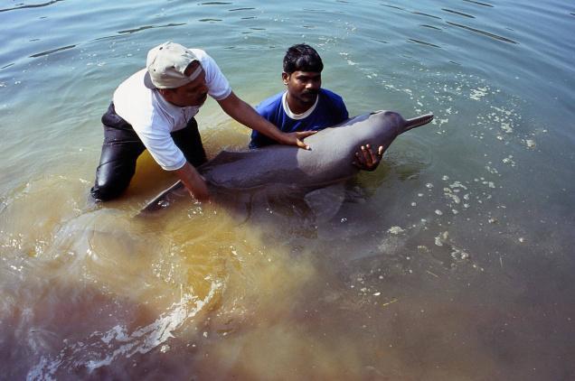 The Elusive Freshwater Dolphin of the Sacred Ganga