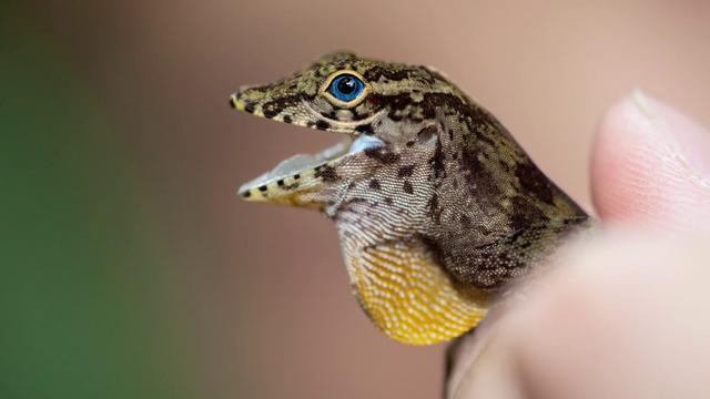 Anolis Lizards in Florida