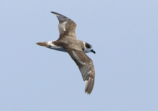 Bermuda Petrel Saved from Extinction