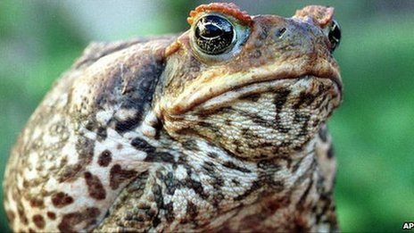 Australian Volunteers Take Part in Cane Toad Cull
