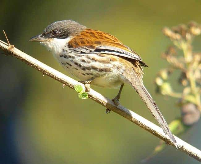 Grey-crowned Crocias crops-up in new location