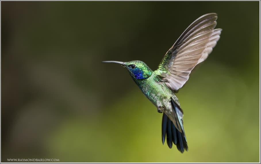 Birding in Costa Rica – Green Violetear (Colibri thalassinus)