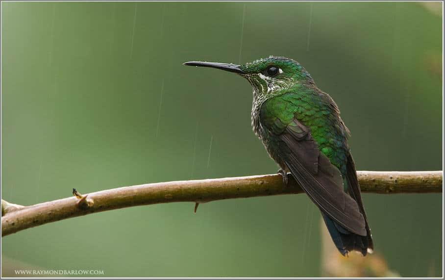 Birding in Costa Rica – Green-crowned Brilliant (Heliodoxa jacula)