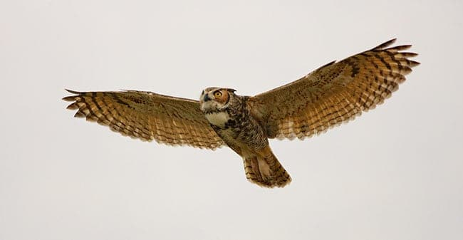 Great Horned Owl Attacks Great Blue Heron Focusing On
