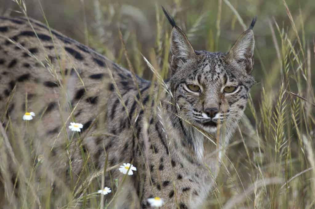 Iberian Lynx Returns to the Wild in Spain
