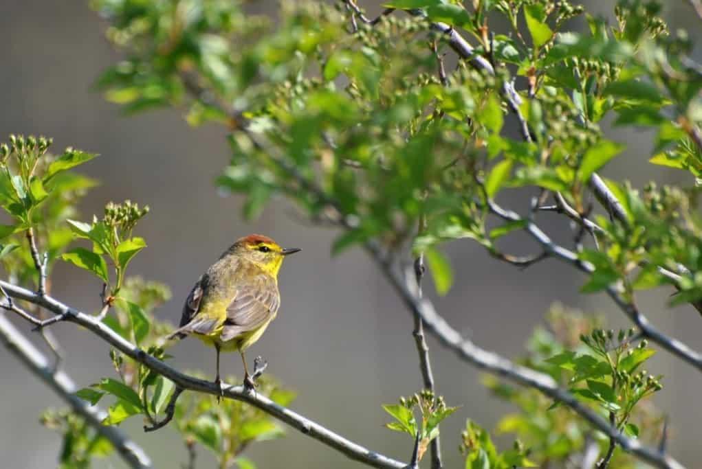 Elusive Spring Warbler