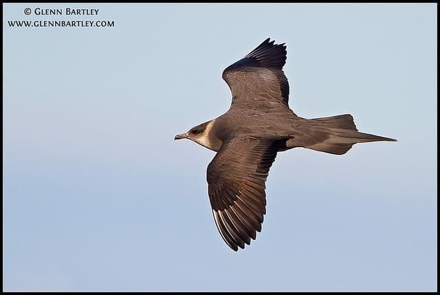 Birding in British Columbia – Parasitic Jaeger (Stercorarius parasiticus)