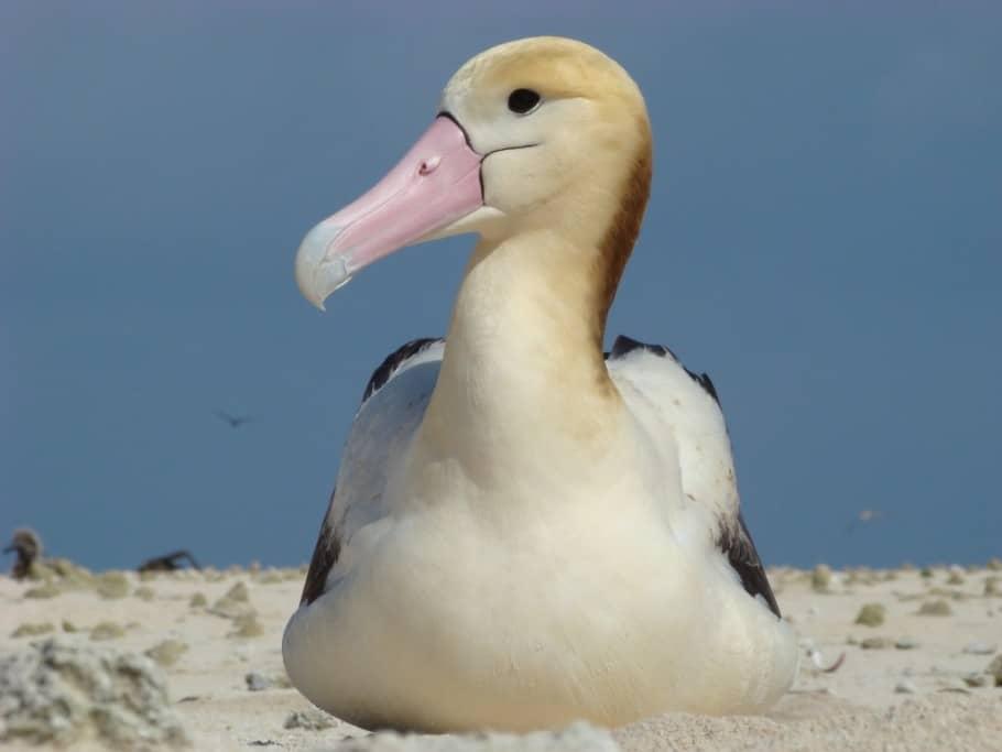 Is Rare Albatross Now Colonizing Hawai'i?