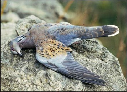 BirdLife Malta Reveals FKNK Instructions To Hunters
