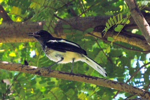 Oriental Magpie Robin: the song of Hue's Citadel