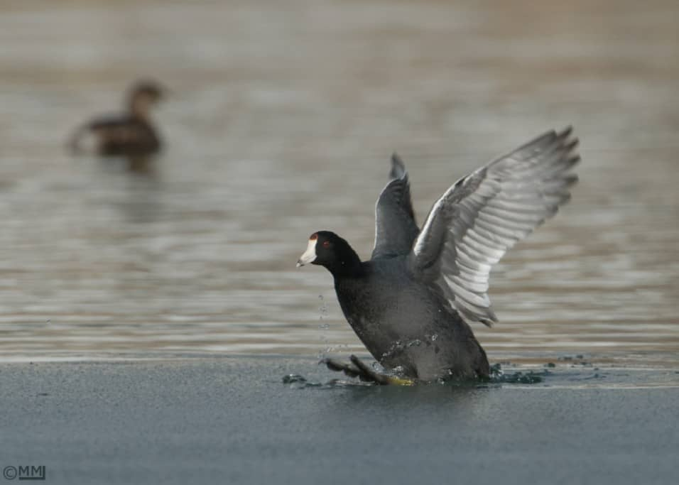 Whoops – American Coot on Thin Ice