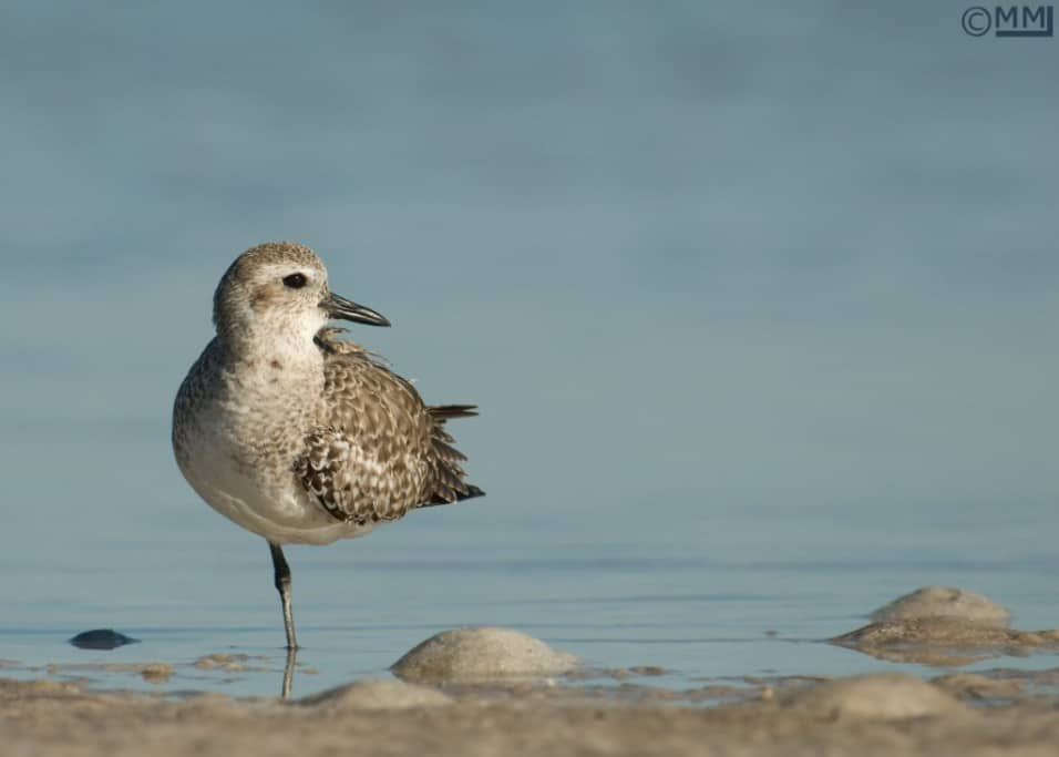 Nonbreeding Black-bellied Plover on one leg (horizontal) - Nikon D200, f6.3, 1/750, ISO 160, Nikkor 80-400mm VR at 400mm, natural light