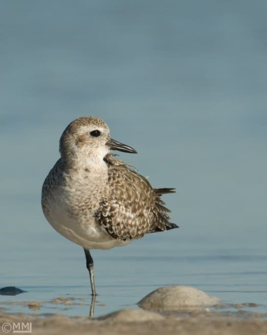 Black-bellied Plover – Composition is a Matter of Personal Taste