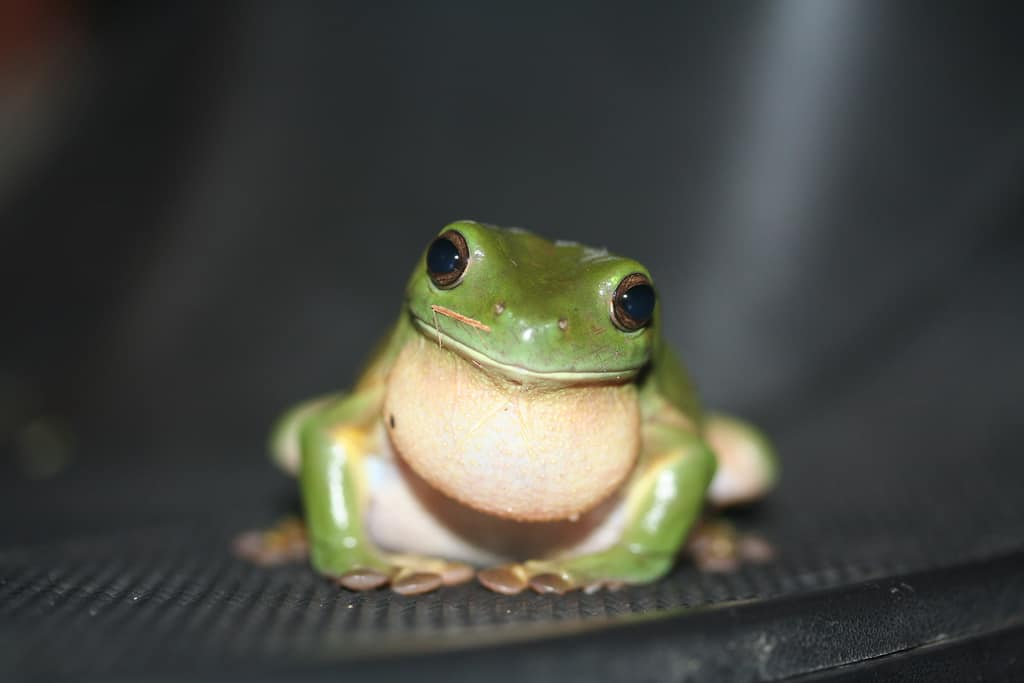 green tree frog (Photo: Stephen Michael Barnett, Creative Commons license)