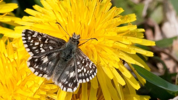 Rare UK butterflies 'bounce back'