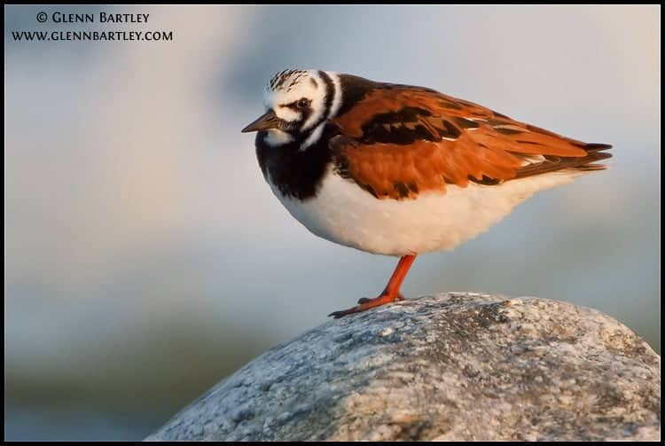 Birding in British Columbia – Ruddy Turnstone (Arenaria interpres)