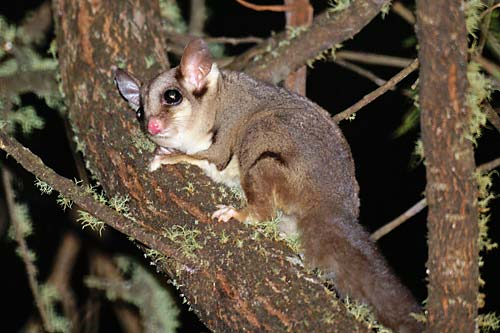 A sweet step towards protection of Sugar Gliders in Malaysia