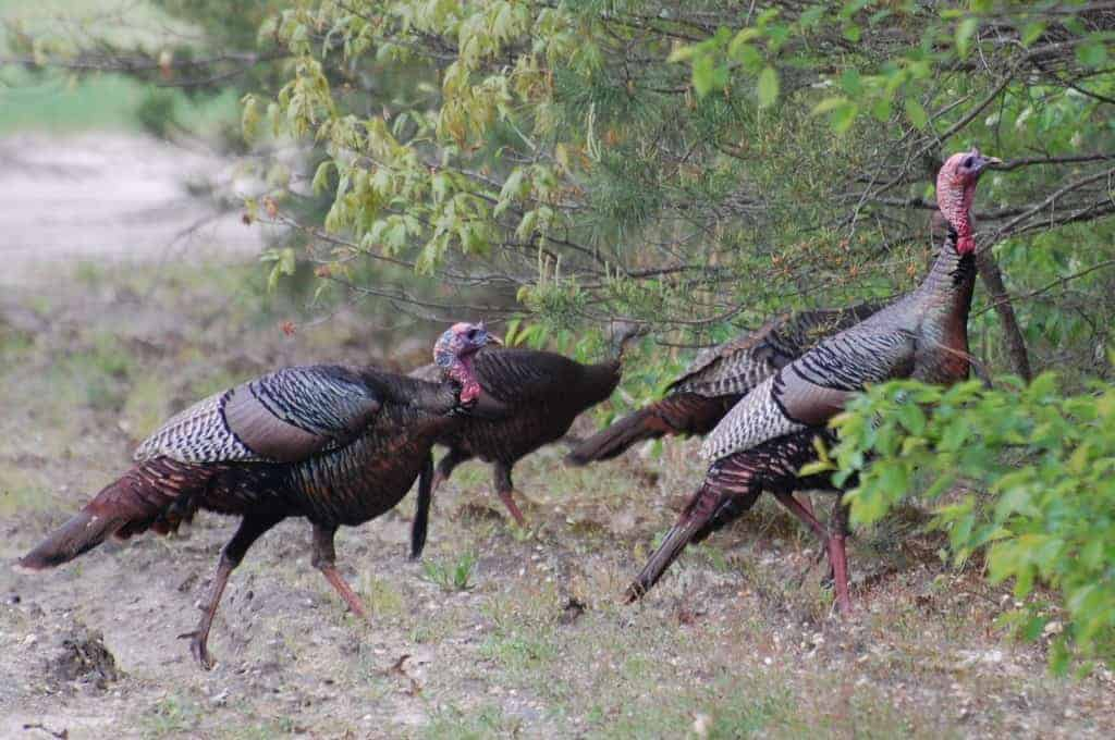 New Jersey's Wild Turkeys, Meleagris gallopavo
