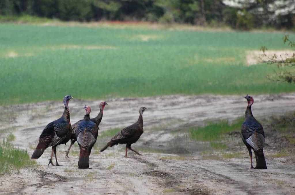 Malabar Pied Hornbills in Kabini