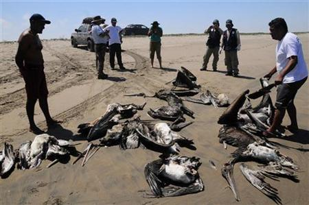 Keep off Beaches, Peru warns after pelican and dolphin deaths