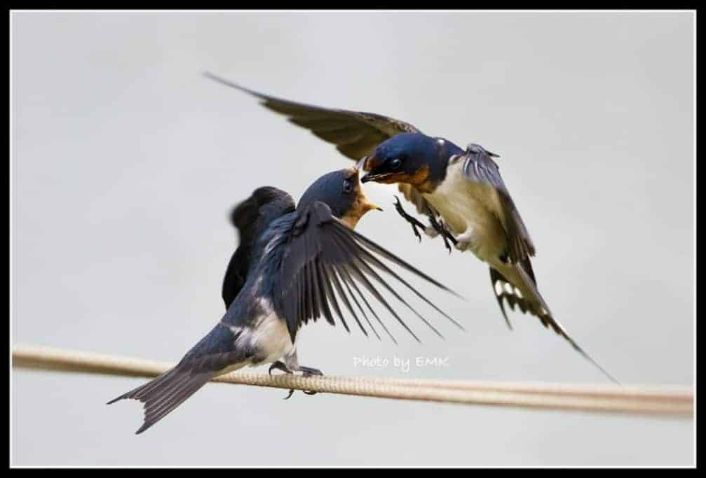 The Decline of Barn Swallows
