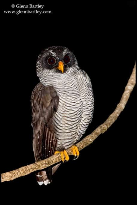 Black-and-white Owl (Strix nigrolineata) perched on a branch in Costa Rica.