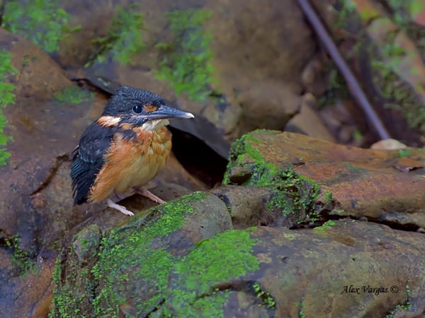 Blue-banded-Kingfisher-chick by Alex Vargas