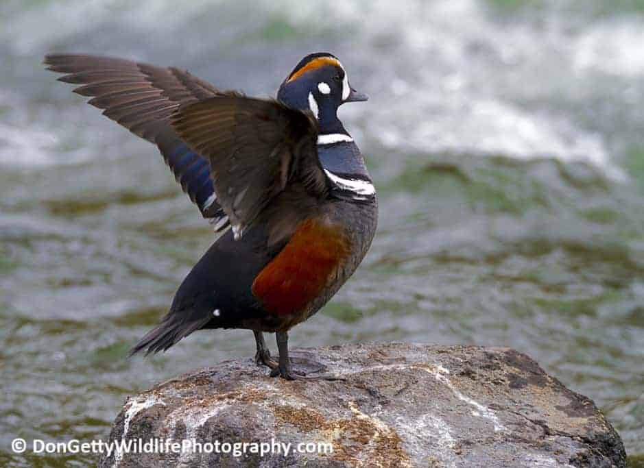 Yellowstone's Harlequin Ducks