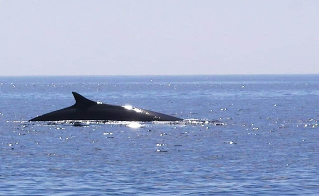 Iceland abandons Fin whale hunt – For now