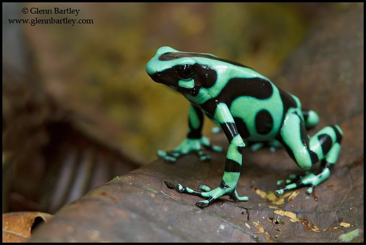 Green and Black Poison Dart Frog – Focusing on Wildlife