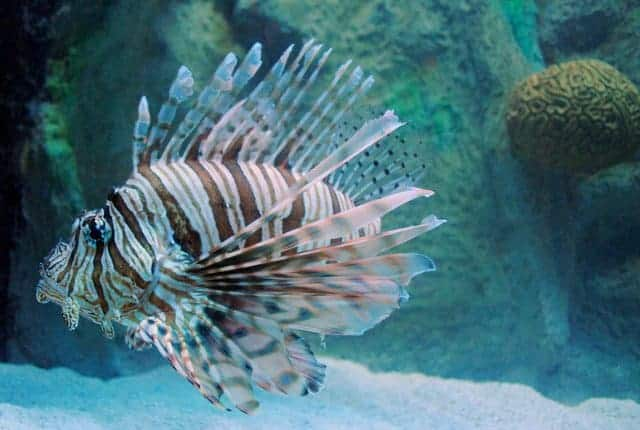 Lionfish:  Invasive species in the Gulf of Mexico