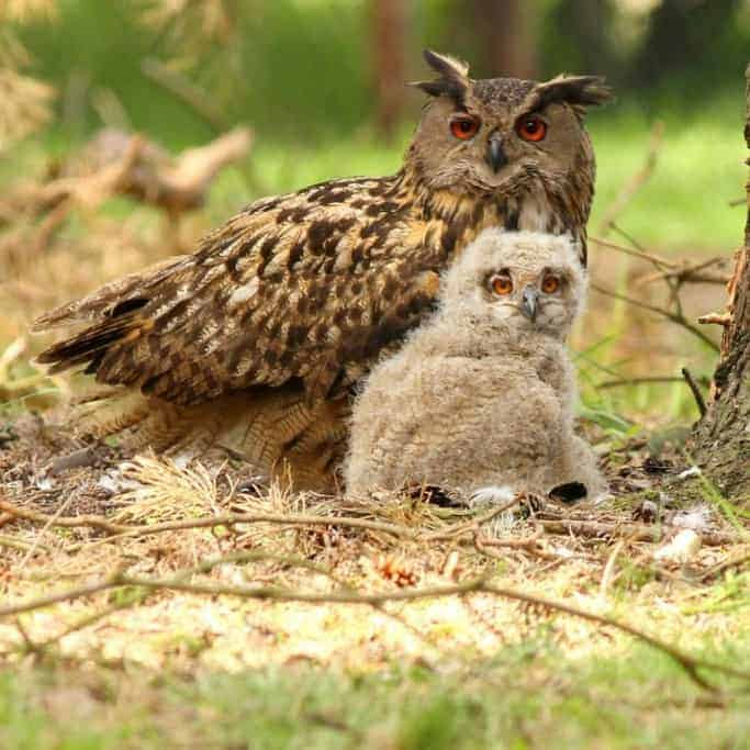Update Eagle Owl