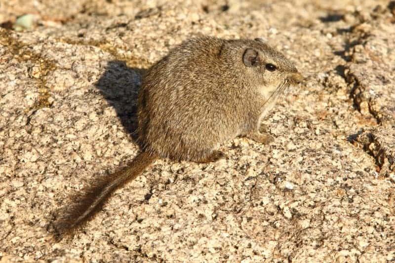 The Dassie Rat – an unique rodent