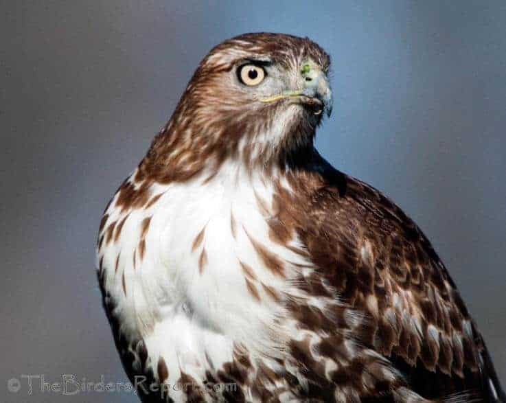 Red-tailed Hawk Juvenile Portrait