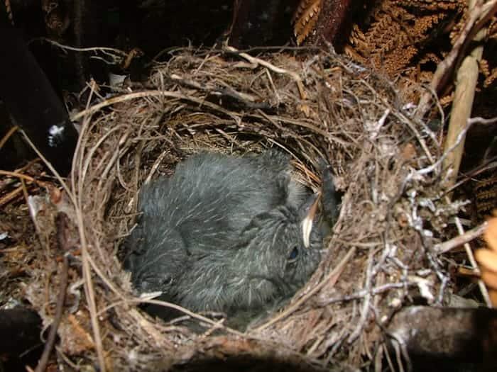 Stewart Island Robin, Petroica australis rakiura
