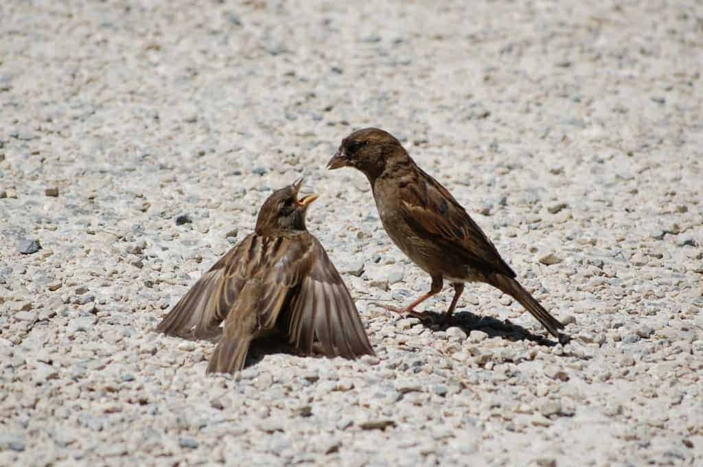 House Sparrows, Passer domesticus