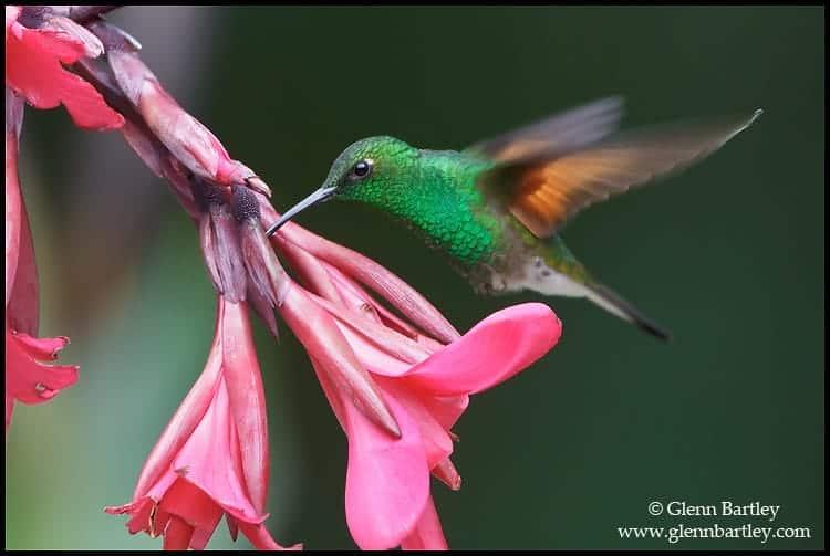 Costa Rica Trip Report – Stripe-Tailed Hummingbird