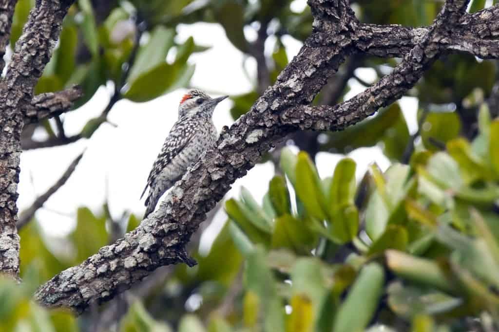 Checkered Woodpecker / Veniliornis mixtus