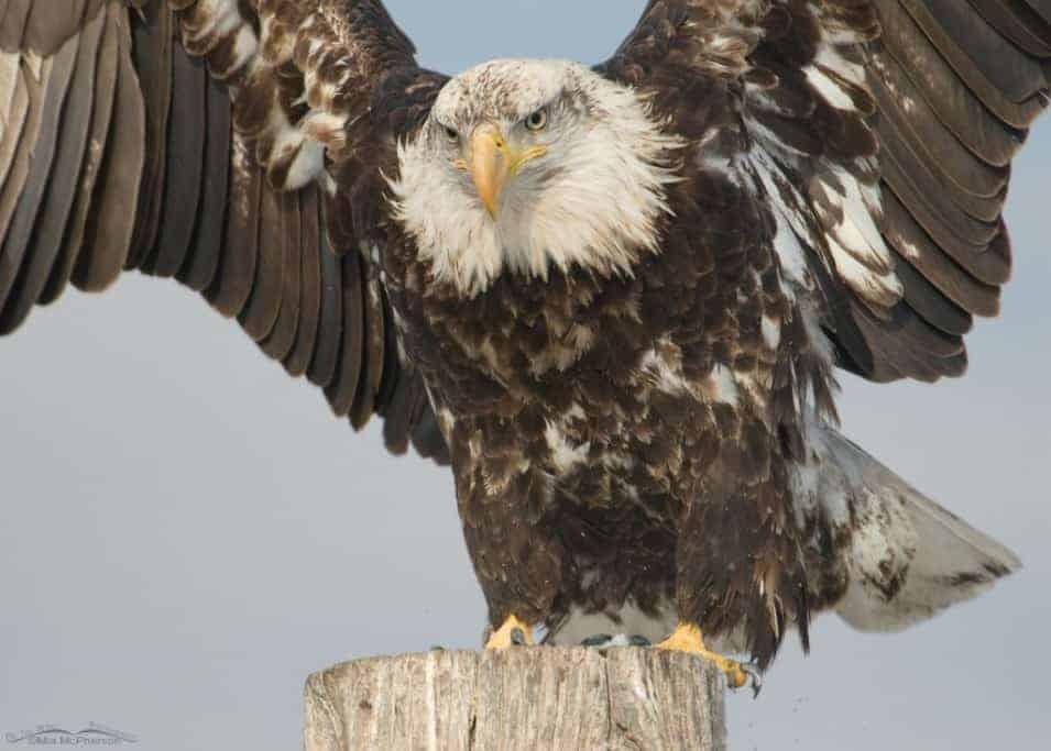 Bald Eagle Close Up – 4 Year Old