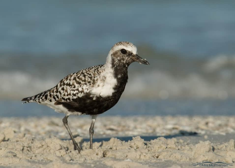 Black-bellied Plover - Nikon D200, handheld, f7.1, 1/800, ISO 200, Nikkor 80-400mm VR at 310mm, natural light
