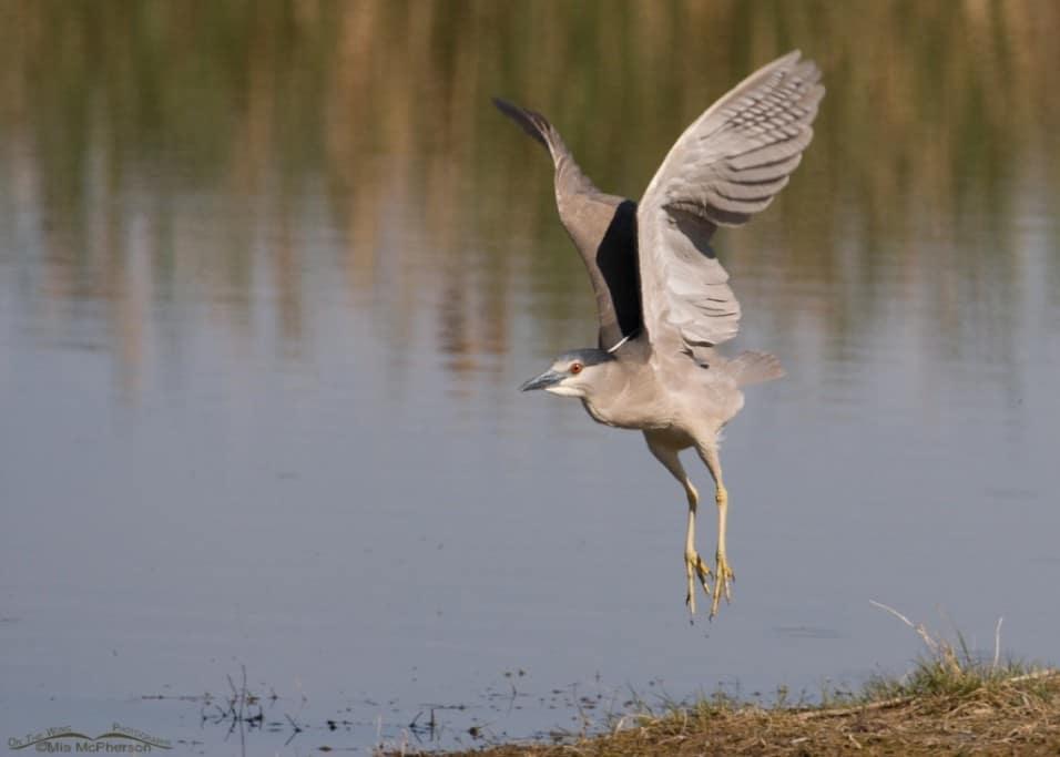 Black-crowned Night Heron Lift Off