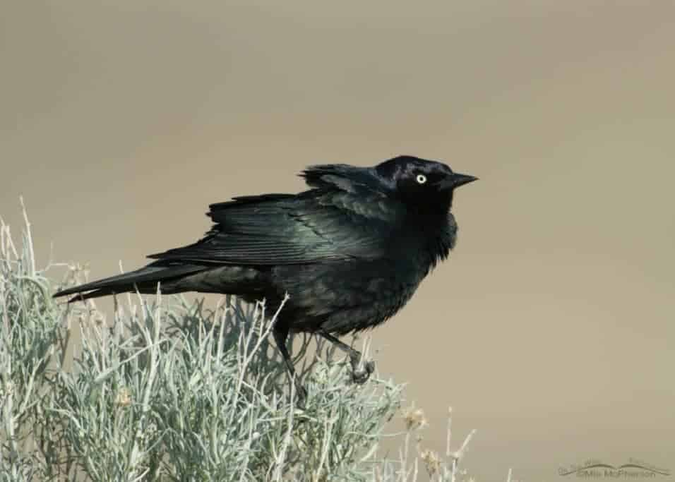 Brewer's Blackbird's Displaying and Nesting