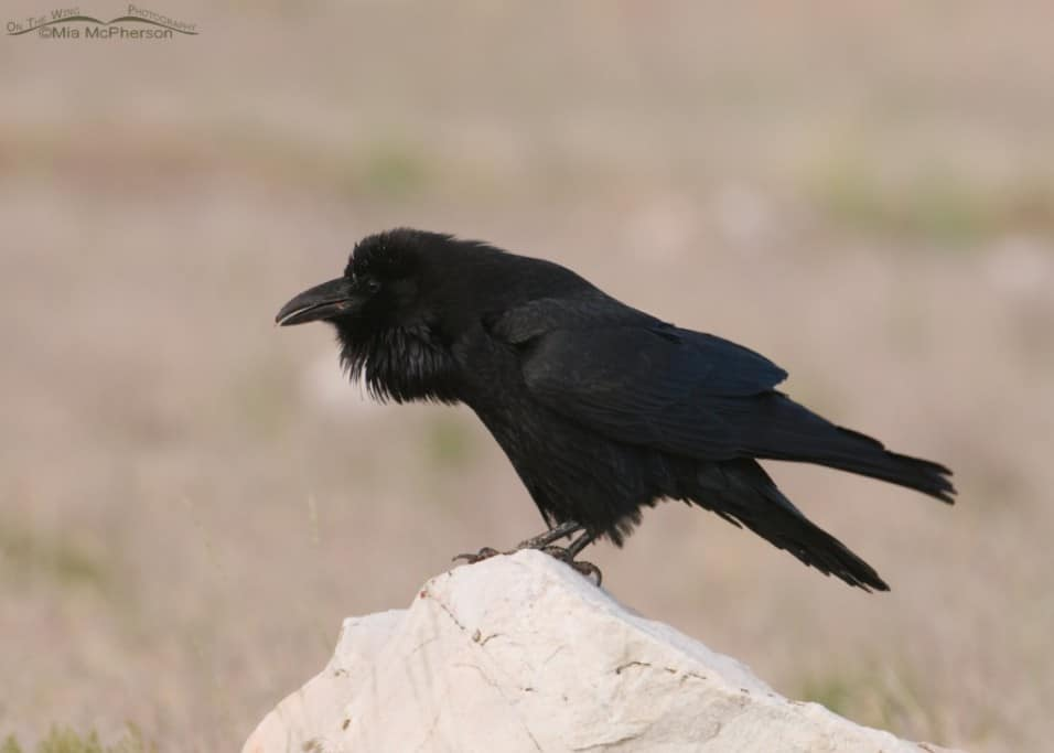 Common Raven in an Open Field
