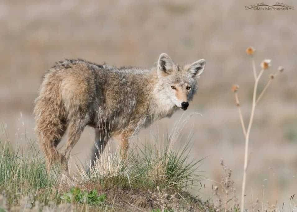 Female Coyote - Nikon D300, f8, 1/640, ISO 400, +0.3 EV, Nikkor 200-400mm VR with 1.4x TC at 314mm, not baited or called in, natural light