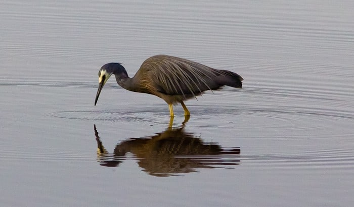 White Faced Heron, Stewart Island, New Zealand